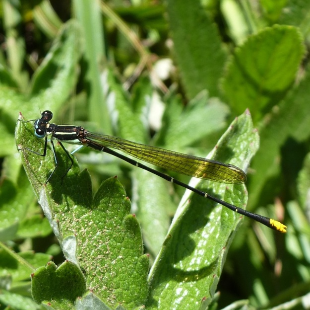 2014 01 05 02 Gold-tail Damselfly