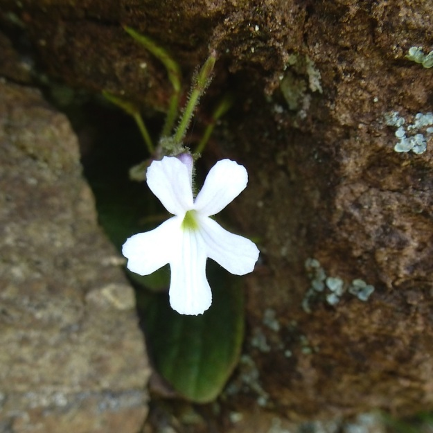 2014 01 05 Streptocarpus pentherianus