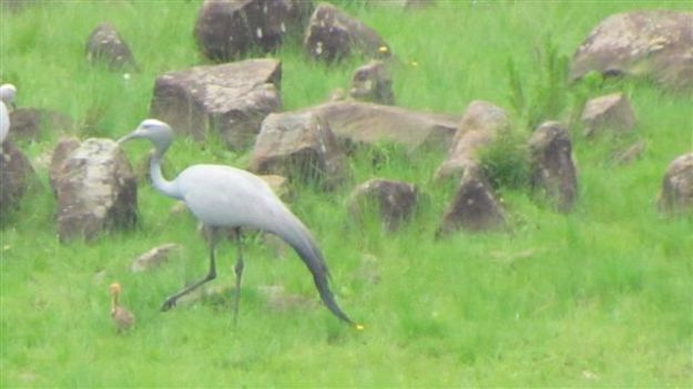 blue crane and chick