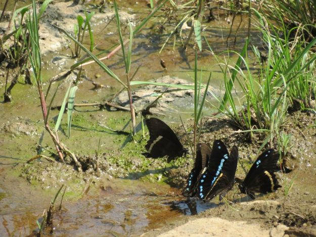 dargle river butterflies