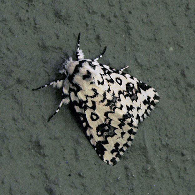 eight spot tussock moth