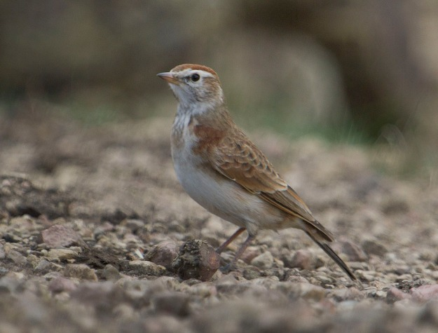 Impendle_Happy Valley_9182_Rufous-naped Lark