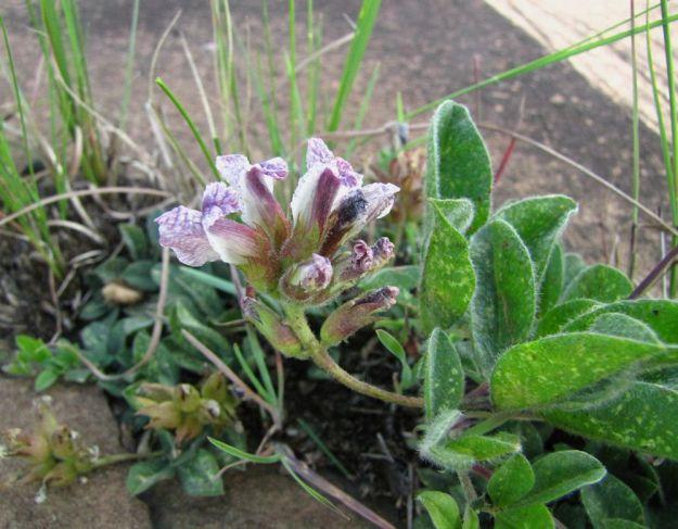 r Pearsonia grandiflora