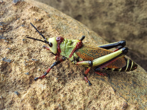 red green black grasshopper