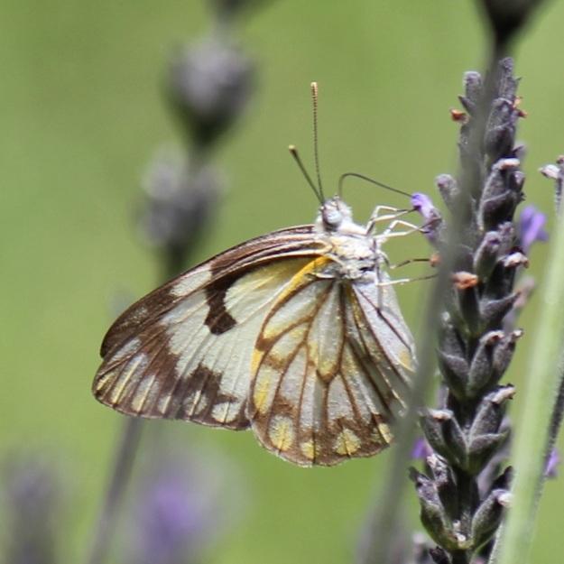 2014 01 Butterfly 01 Belenois aurota