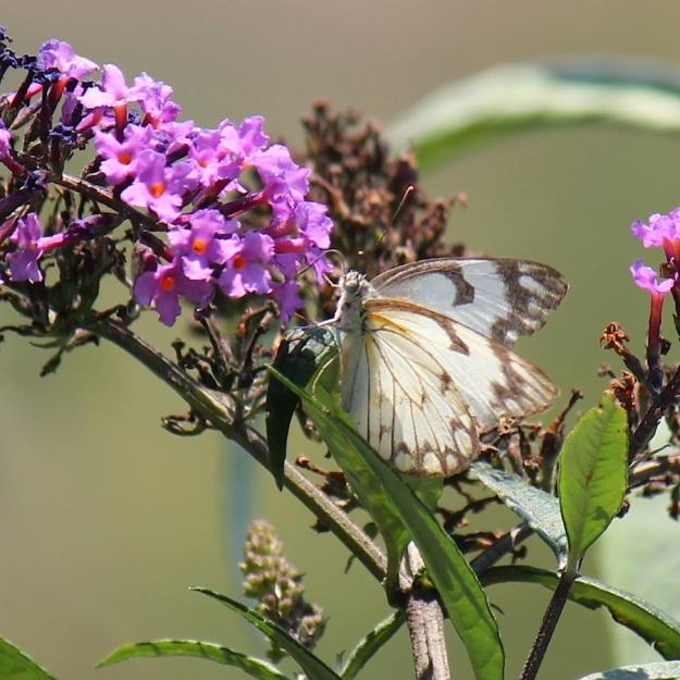2014 01 Butterfly 02 Belenois aurota