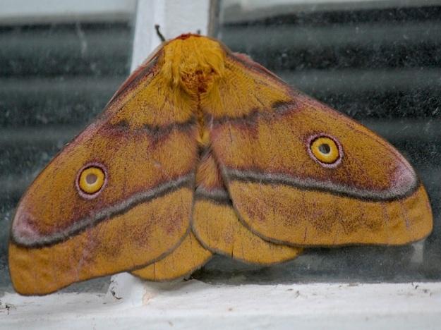 2014 01 Moth 01 Mopane Moth