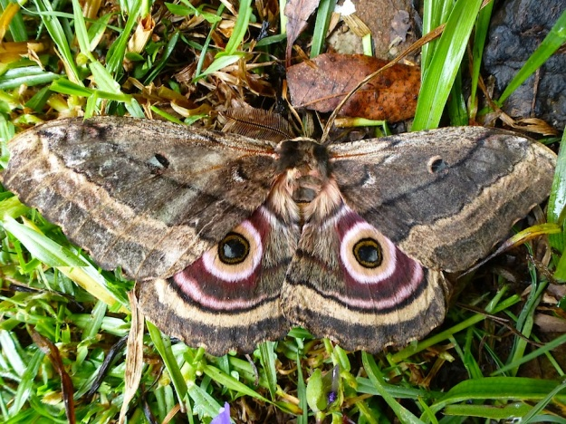 2014 01 Moth 02 Speckled Emperor