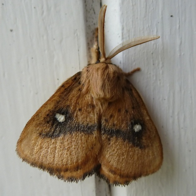 2014 01 Moth 06 Monkey moth sp