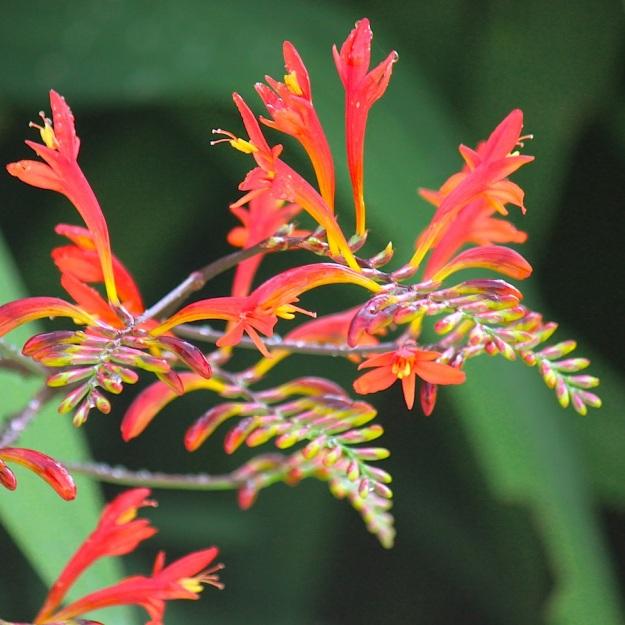 2014 01 Plant Crocosmia paniculata