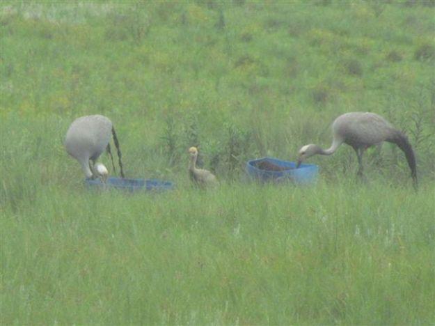 4 week old blue crane cattle lick