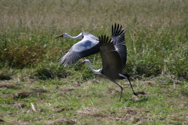 Adult and Juvenile Wattled Crane by Kevin Christie