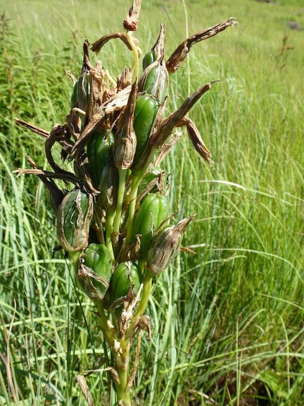 Aloe boylei seeds CGrant