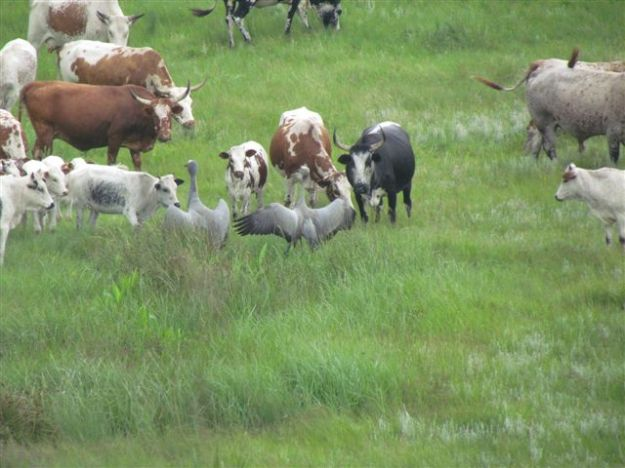 blue crane parents fend off cows