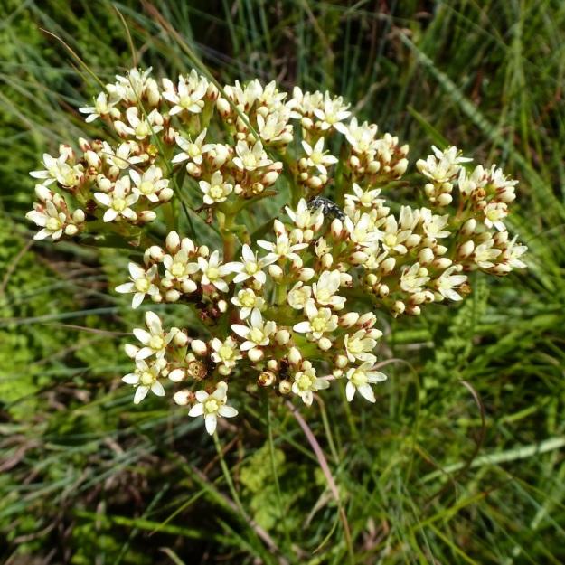 Crassula alba white CGrant
