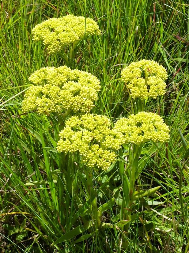 Crassula alba yellow CGrant