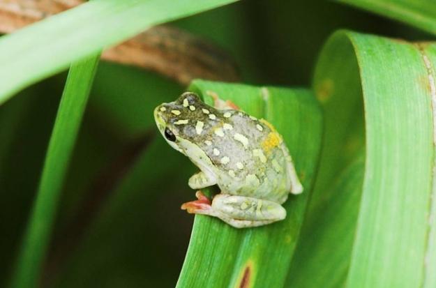 Frog 650px wide CARLA HARDMAN