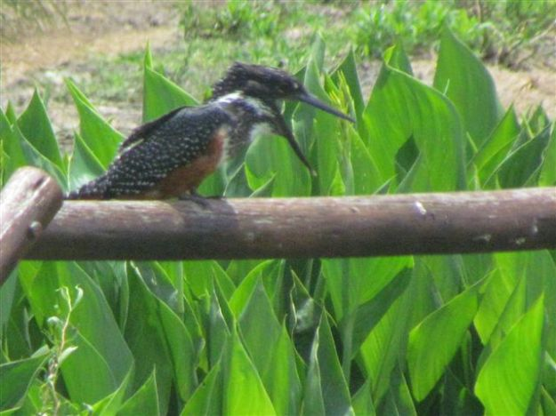 giant kingfisher screeching