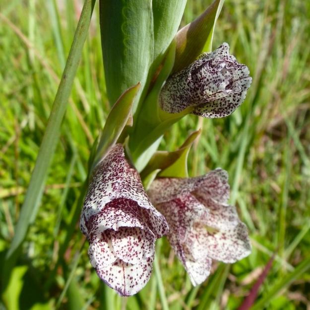 Gladiolus ecklonii CGrant