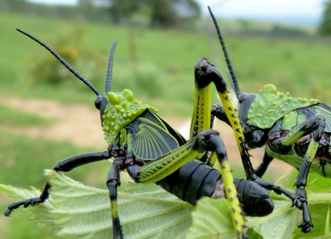 green black grasshoppers