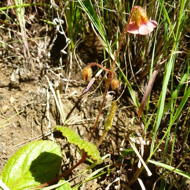 Hermannia woodii CGrant