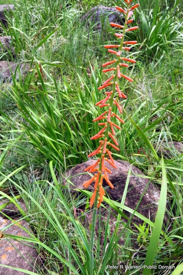 Slender Poker (Kniphofia laxiflora). Robyn's Yarrow Falls Walk.