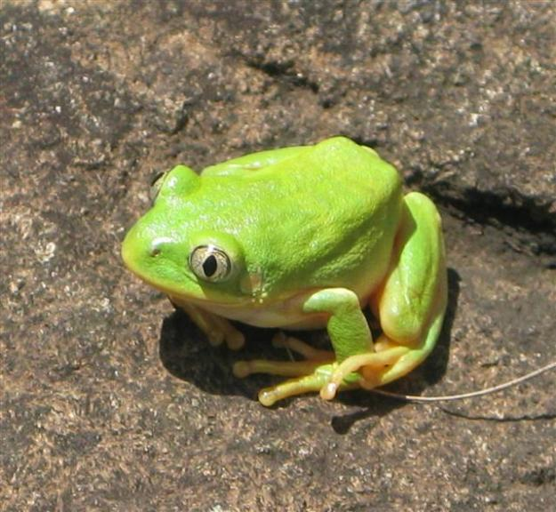 long toed frog (Small)