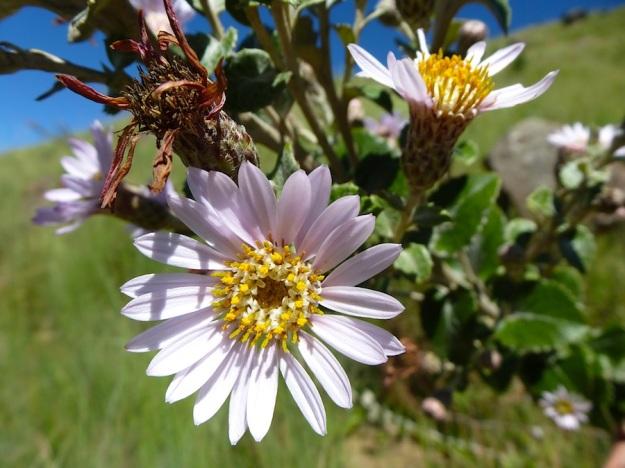 Printzia pyrifolia 02 CGrant