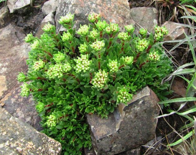 r crassula maybe pellucida impendle 327