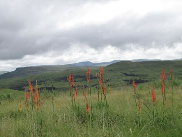 r kniphofia laxiflora impendle 405