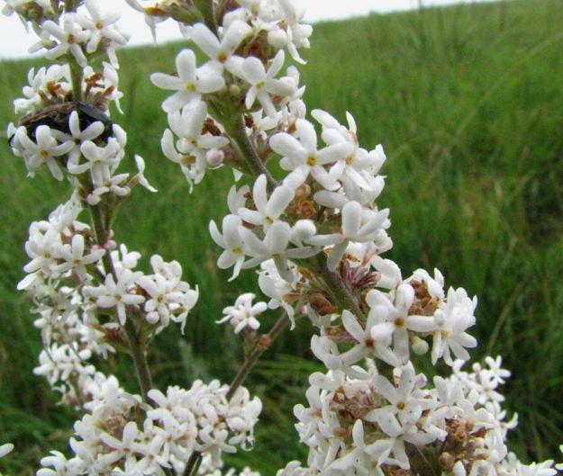 r manulea florifera impendle 307