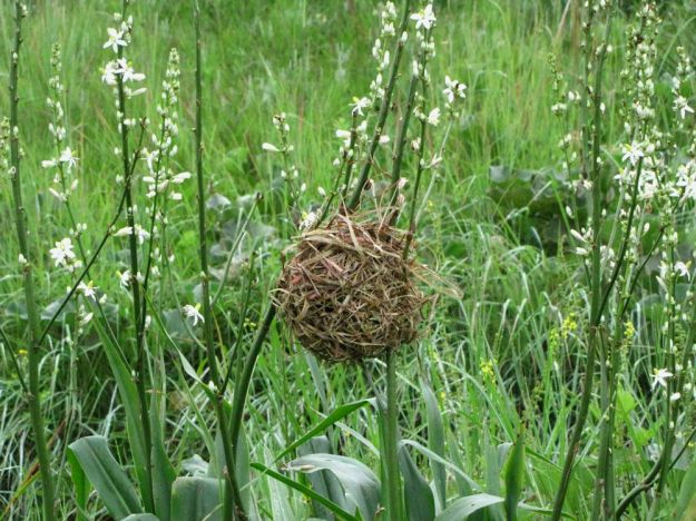r nest on chlorophytum krookianum impendle 165