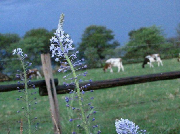 r scilla cows