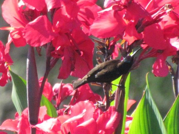 African black sunbird.