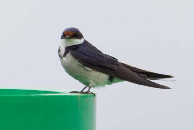 Boston_2850_White-throated-Swallow