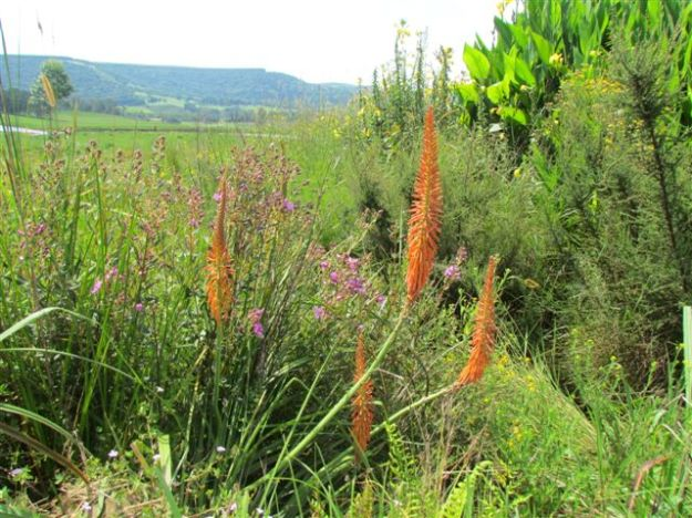 Dissotis canescens and Kniphofia.gracilis
