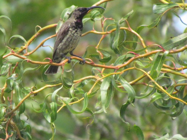 female african black sunbird