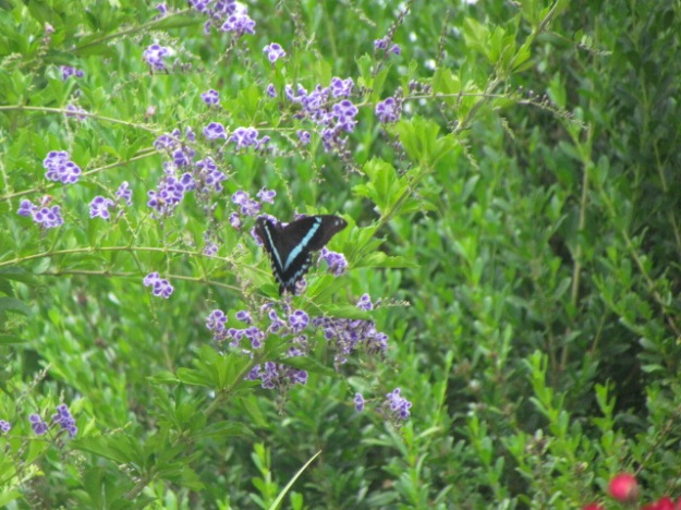 Greenbanded swallowtail butterfly