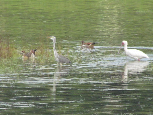 Grey heron, gyptian geese and spoonbill