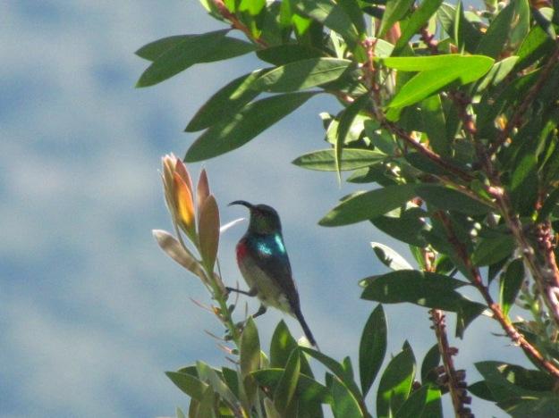Lesser collared sunbird.