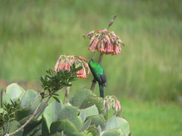 Malachite sunbird.