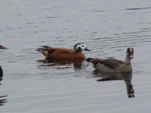 Male shell duck and egytian goose