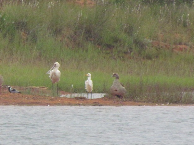 plover, spoonbill, giant egret and egyptian goose.