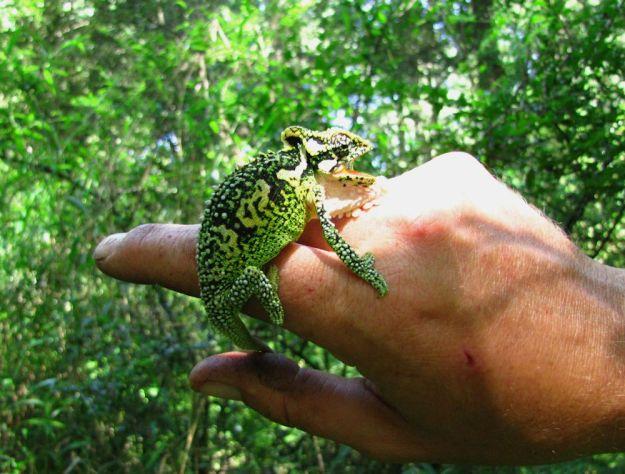 r milestone midlands dwarf chameleon