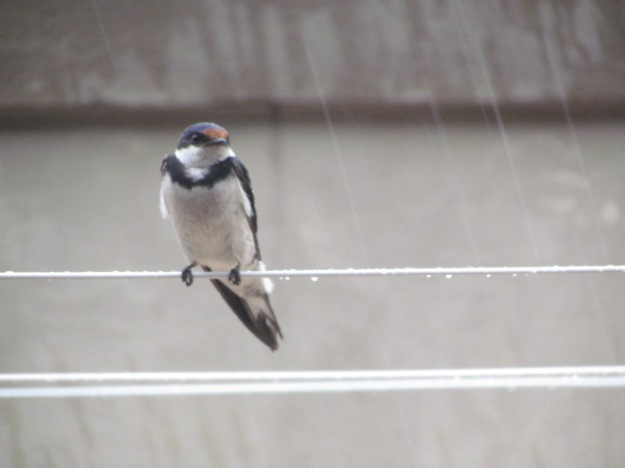 Whitethroated swallow in the rain.