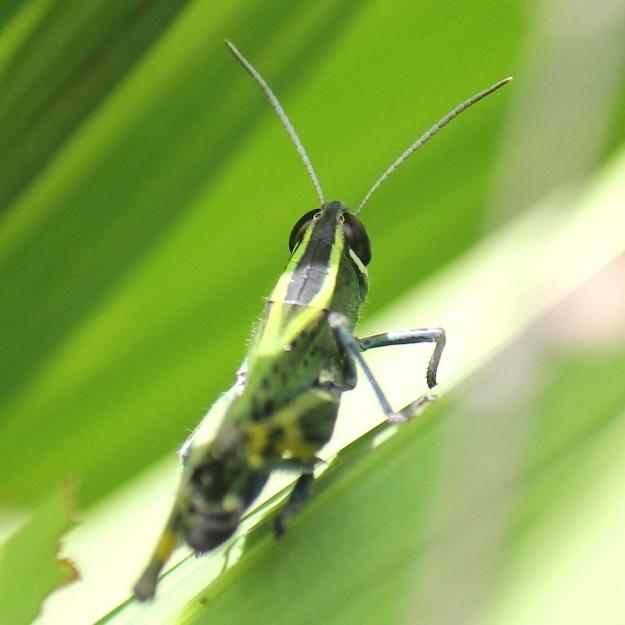 2014 03 Insect 02 Locust Heteracris