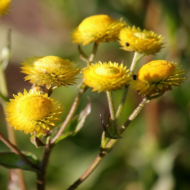 2014 03 Plant 01 Helichrysum cooperi