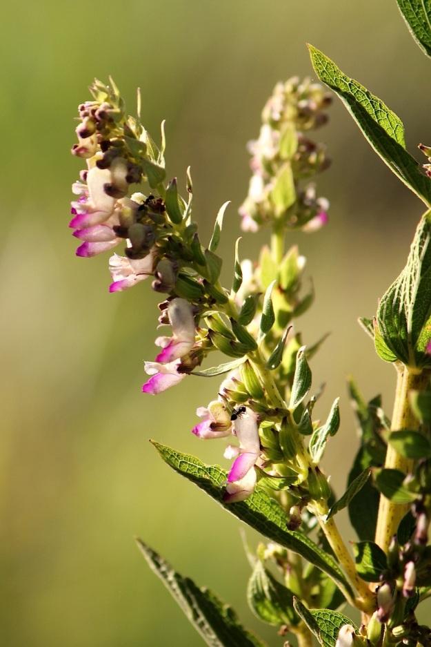 2014 03 Plant 02 Plectranthus calycinus