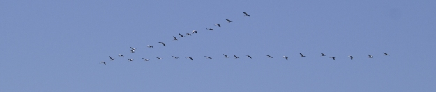 2014 March Grey Crowned Crane (2)