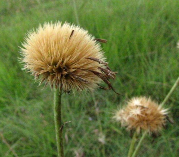 autumn seedhead